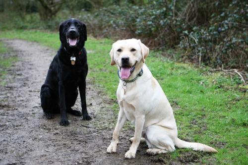 When Griffin met Gordon the working Guide Dog for a free run.