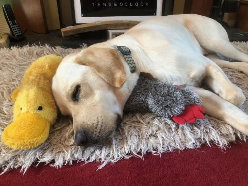 Snoozing with his favourite toys.